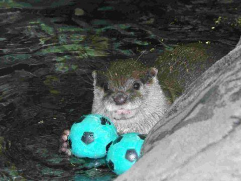 ON THE BALL: An otter at Bournemouth Oceanarium