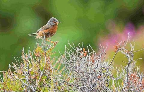 Dartford warbler population on the up in Poole