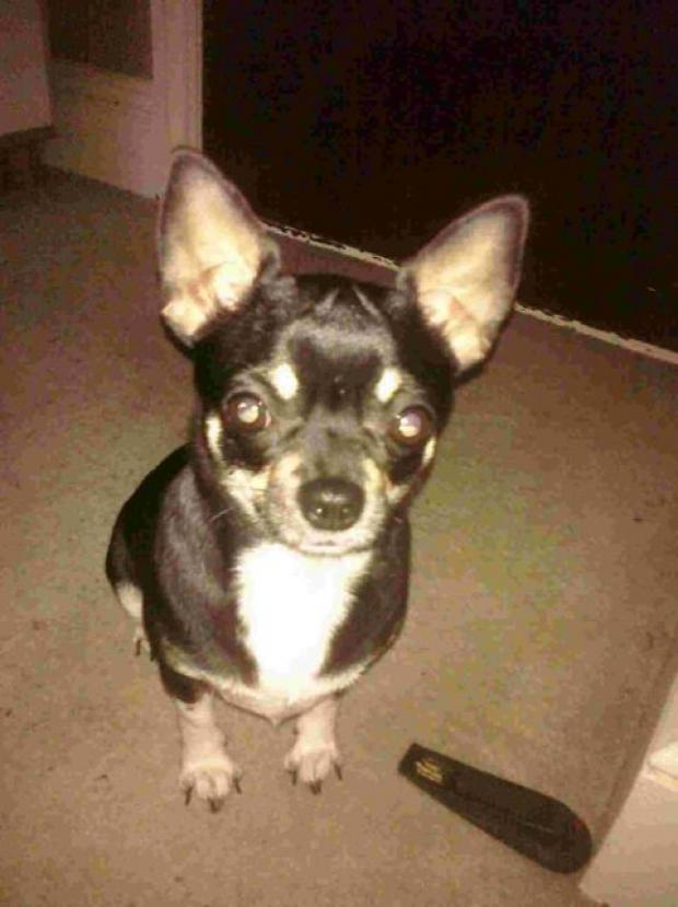 LOST DOG: Tiffany a 3-year-old chihuahua is missing
