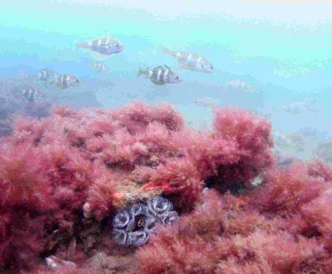 PRESERVING SEALIFE: Dorset reef habitat with shoal of bib and fanworms
