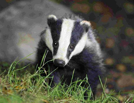 BADGER: Dorset is on the reserve list