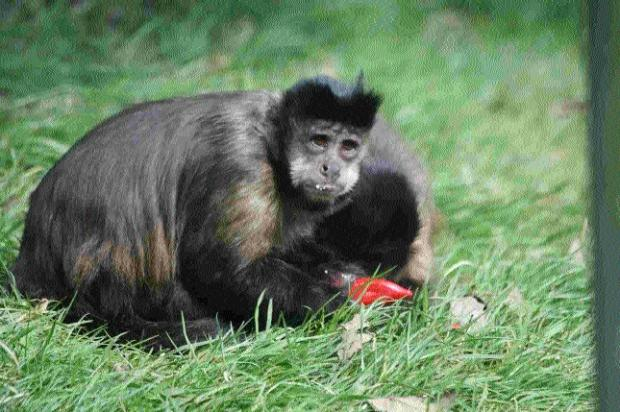 GROWTH INDUSTRY: Rescued capuchin Monkeys need flowers and herbs to rub on their fur!
